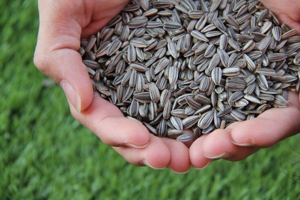 Sunflower Seeds | Sunflower Seeds Supplier