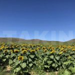 sunflower seeds supplier
